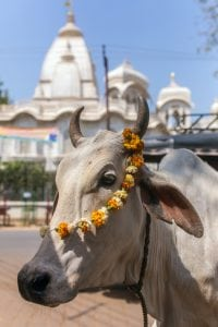Decorated Cow South India tour