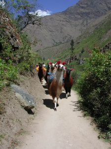 llamas on Inka road Bolivia Far Horizons archaeology tour